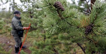 Ruotsi lisäämässä metsiensä kasvua